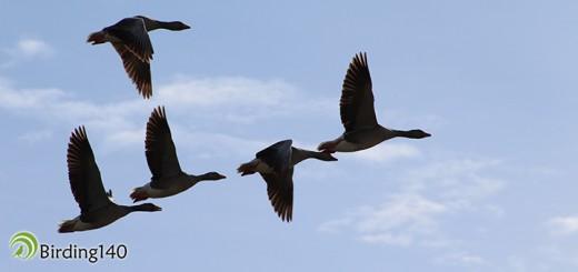 Ansares comunes en vuelo en Villafáfila