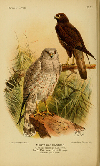 Montagus Harrier (Circus pygargus) | Autor: Biodiversity Heritage Library  · Creative Commons: Attribution 2.0 Generic