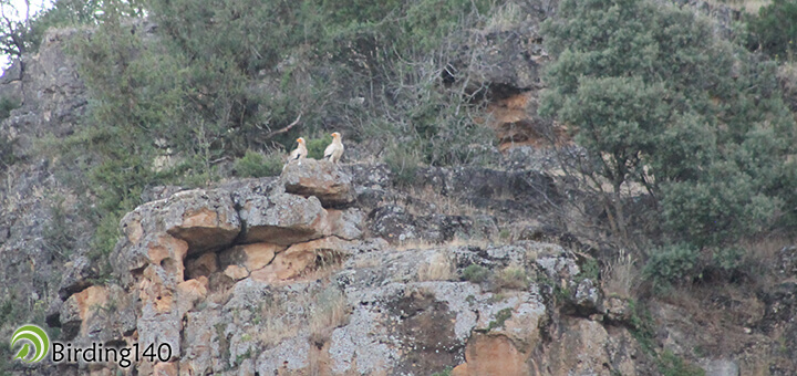 Egyptian Vultures (Neophron percnopterus)
