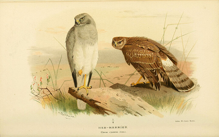 Hen Harrier (Circus cyaneus) | Autor: Biodiversity Heritage Library · Creative Commons: Attribution 2.0 Generic