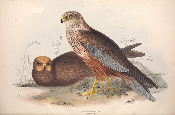 Marsh Harrier (Circus aeruginosus) | Autor: Biodiversity Heritage Library · Creative Commons: Attribution 2.0 Generic