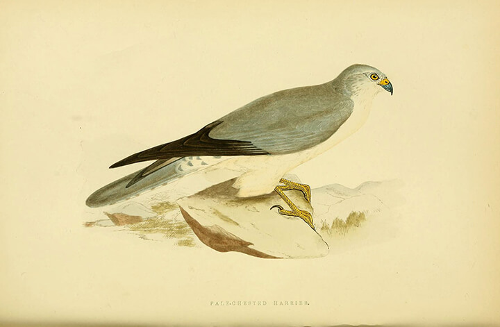 Pallid Harrier (Circus macrourus) | Autor: Biodiversity Heritage Library · Creative Commons: Attribution 2.0 Generic