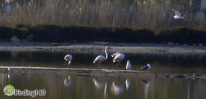 Flamencos en la Laguna de Santa Pola