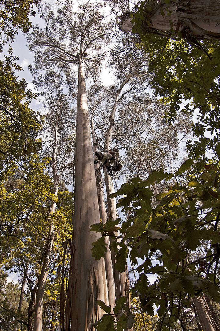 Rapaces utilizan con preferencia los grandes eucaliptos para situar sus nidos