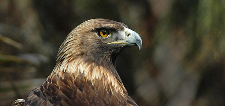 Águila Real en Europa - Aquila chrysaetos chrysaetos