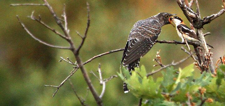 cuco nido