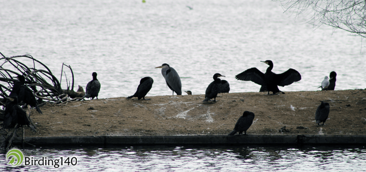 Garza real y cormoranes