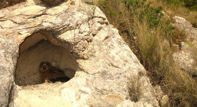 Búho real en una cueva. Juan M. Pérez-García (ASE).