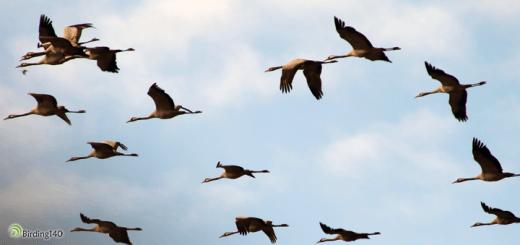 Viaje migratorio de las grullas