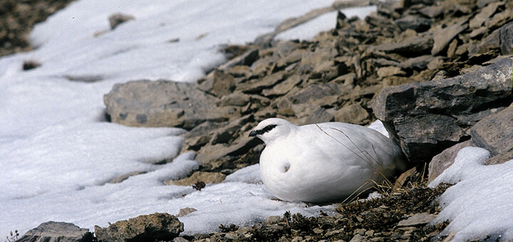 El ave de las nieves. Lagodópodo Alpino Pirenaico
