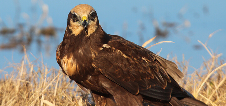 Female Marsh Harrier (Circus aeruginosus) | Autor: Michele Lamberti · Creative Commons: Attribution 2.0 Generic