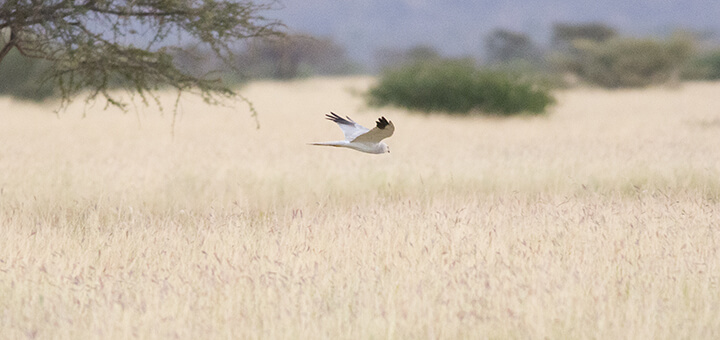Hen Harrier (Circus cyaneus) | Autor: Peter Wilton · Creative Commons: Attribution 2.0 Generic
