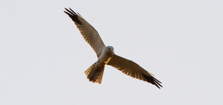 Pallid Harrier (Circus macrourus) | Autor: Ron Knight · Creative Commons: Attribution 2.0 Generic