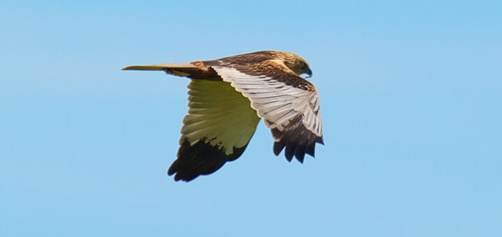 Marsh Harrier (Circus aeruginosus) | Autor: Stefan Berndtsson · Creative Commons: Attribution 2.0 Generic