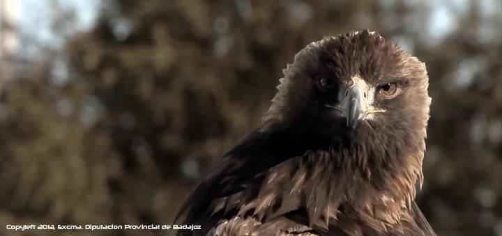 Águila Real en la península Ibérica y norte de África. Aquila chrysaetos homeyeri