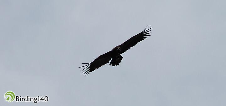 Buitre negro sobrevolando Monfragüe