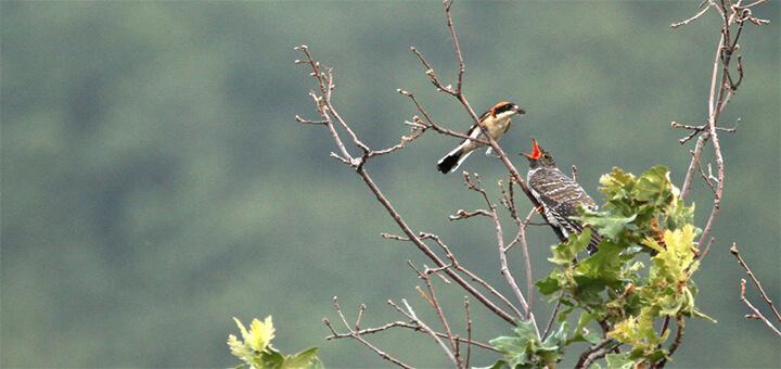 cuco en nido de alcaudon