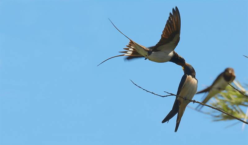 Golondrina alimentando en pleno vuelo