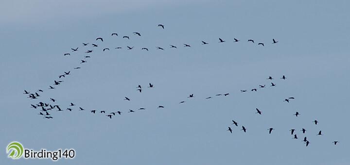 cranes monfrague