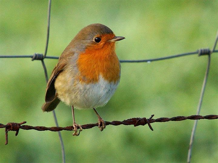 petirrojo aves cantabria