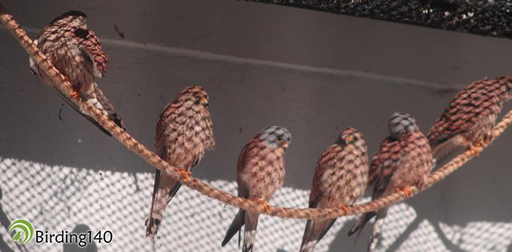 Grupo de cernícalos primilla (Falco naumanni)