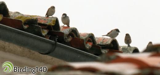 Gorrión común